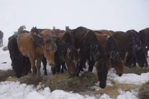 Доброволци успяха да занесат малко храна на конете
