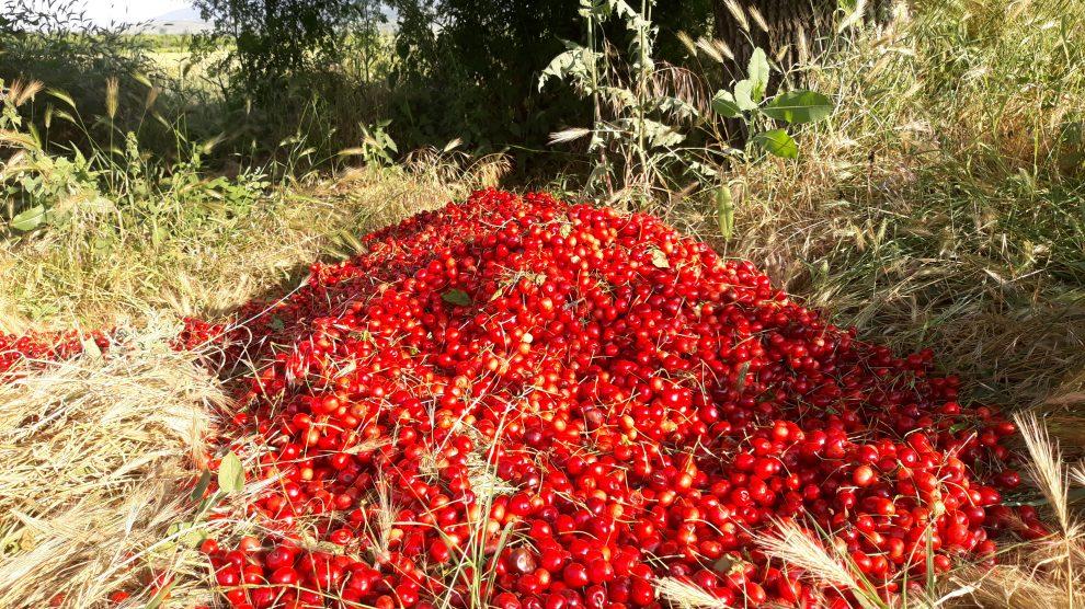 Купчини с череши гният край градините в Родопската яка.