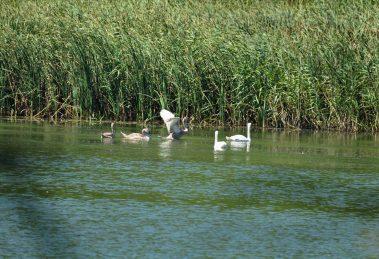 fe6673bc665 Лебеди и лилии се крият в Малък Преславец СНИМКИ