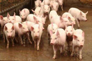 Откриха огнище на африканска чума по свинете в Съединение