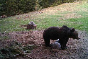 Огромен мечок загради територия и не допуска друг да ловува в нея.