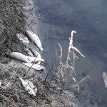 Умряла риба край устието на отпадните води на Стамболийски.