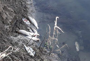 Умрялата риба край устието на мръсната вада на Стамболийски. Снимки: ПловдивПрес