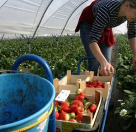Работа в оранжерии и парници е най-предлагааната сега на Острова