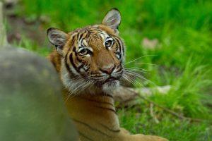 Тигрицата Надя