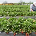 Една от най-големите английски фирми спира да наема сезонни работници от България и Румъния