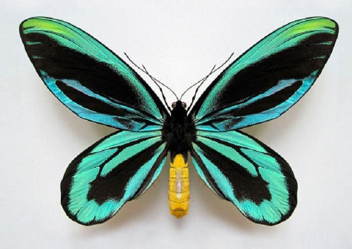 Птицекрилата пеперуда на кралица Александра (Ornithoptera alexandrae)