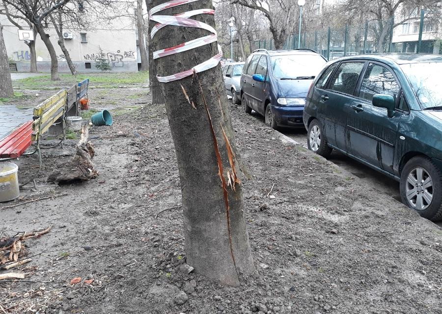 При прокопаването на канала за кабела нараниха дърво, което най-вероятно ще изсъхне.