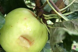 Ябълките в големия масив край Трилистник са унищожени.